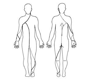 大腿部から体幹へ、さらに腋窩を通り肘へとつながります