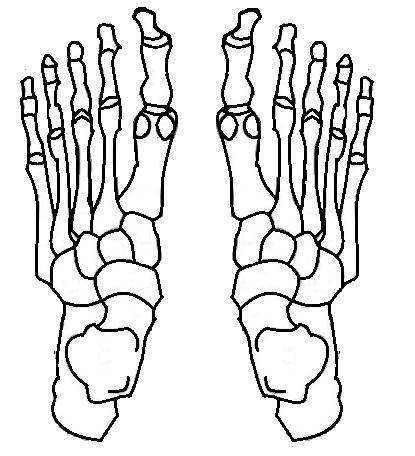 足は、片足28個の骨で複雑に構成されている