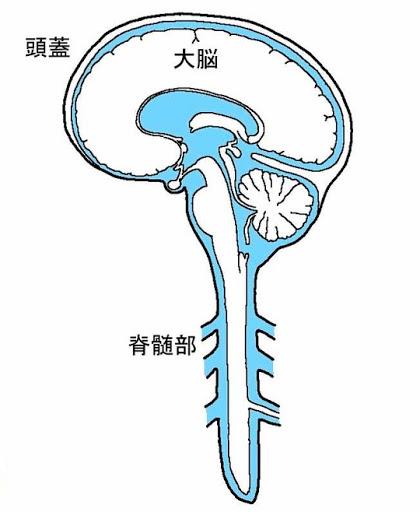脳脊髄液は自然治癒力に大きな影響を与えます