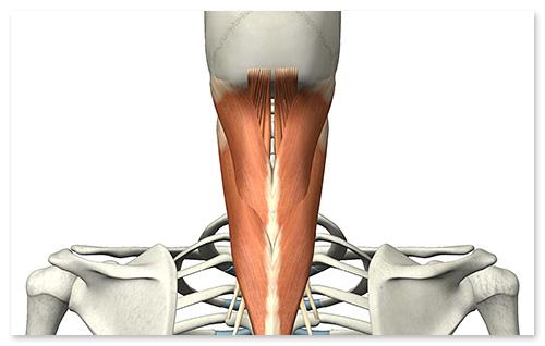 特に上部頸椎の調整について、注目度が高まっています